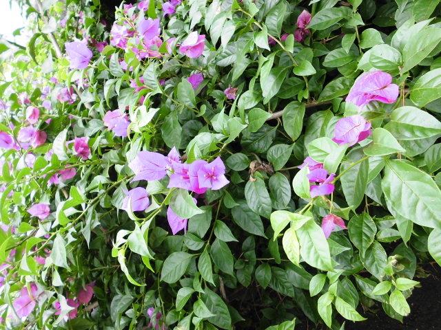 色々あって綺麗でした_青島の亜熱帯性植物群落