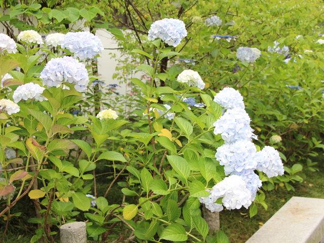 白色の紫陽花_資福寺