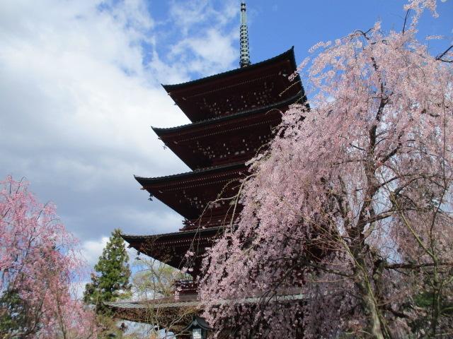 枝垂桜が塔に寄り添う_最勝院五重塔
