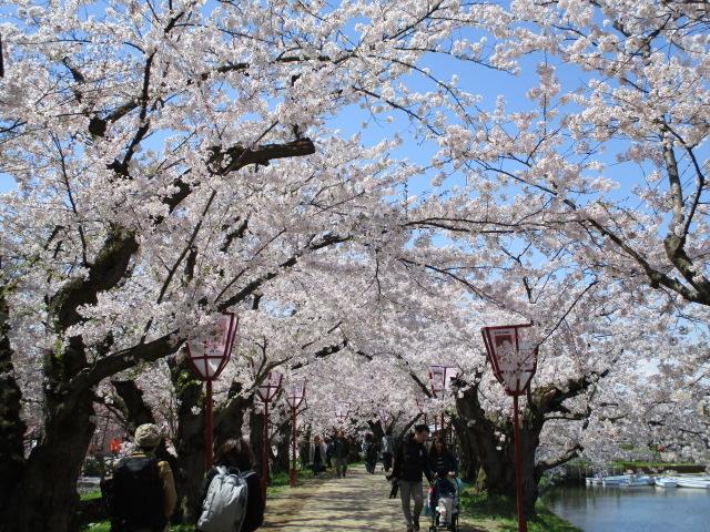 お城の周りは桜のトンネルも_弘前城