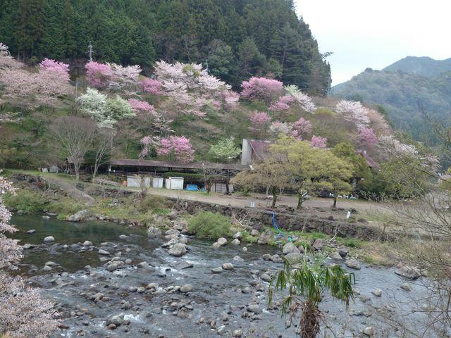 対岸の桜_月ヶ谷温泉 月の宿