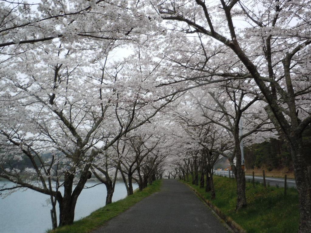 羽高湖の桜