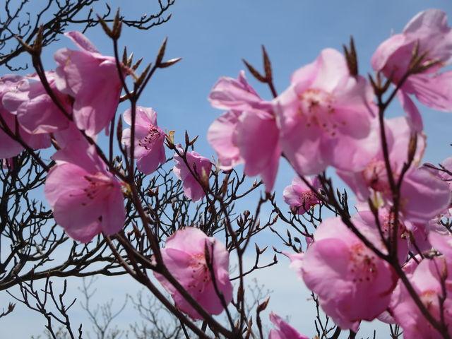 青空に映えてきれいなピンク色 でした。初めて見たので嬉しかったです。_御在所岳