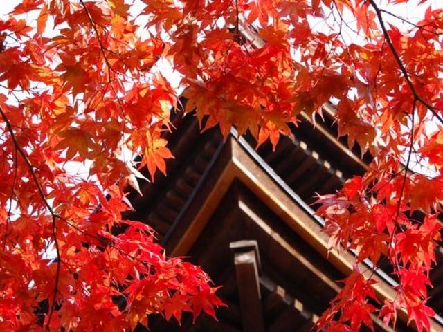 五重塔と紅葉。分かりませんよね。_金剛輪寺