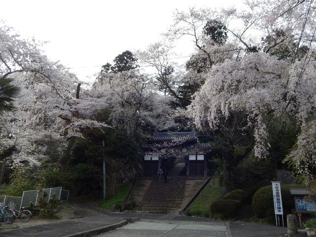 惣門と桜_大年寺山公園