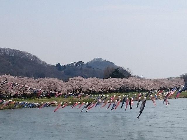 北上川を泳ぐ鯉のぼり_北上市立公園展勝地