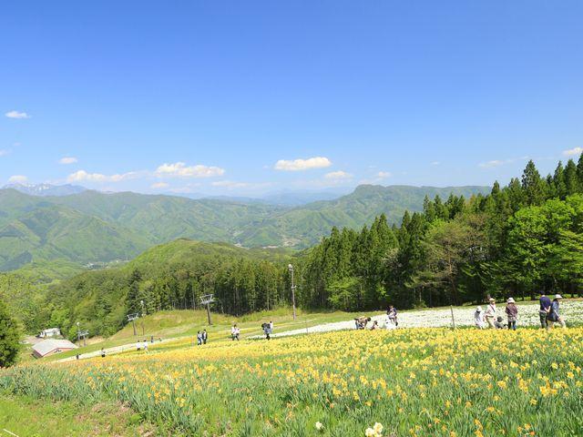 リフトで行ける頂上からは、青空の下に広がるすいせん畑を見降ろす事ができます。_ノルンみなかみフラワーガーデン