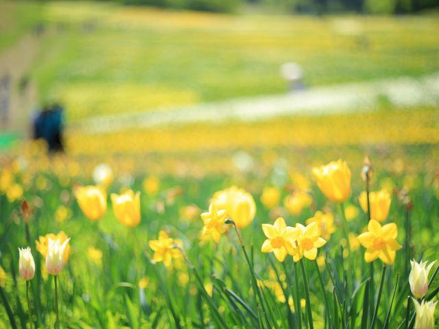 見頃を迎えたすいせんの花。行くならやっぱり天気の良い日がオススメです。_ノルンみなかみフラワーガーデン