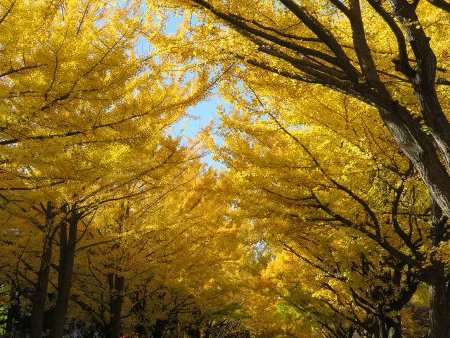 黄葉が真っ盛り_北大イチョウ並木