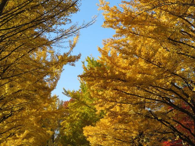 黄色が濃いです_北大イチョウ並木
