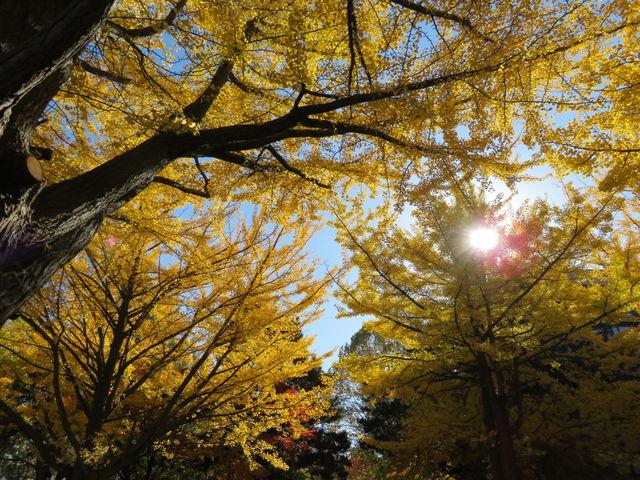 日差しに映える_北大イチョウ並木