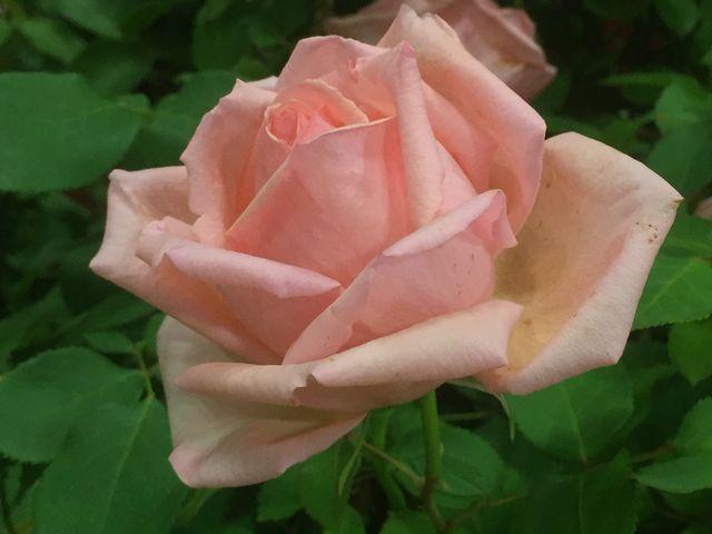 淡いピンクのバラが一番のお気に入り_横浜イングリッシュガーデン