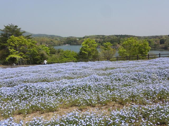 ネモフィラの向こうに湖が。_大分農業文化公園