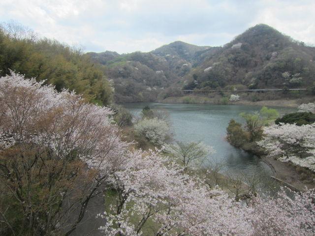 さくら満開で広々爽快な松川湖畔_松川湖