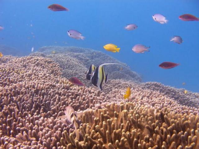 サンゴいっぱいダイビングでは綺麗な熱帯魚とサンゴに会える_ダイビングサービスあいる・ぷまんどぅ