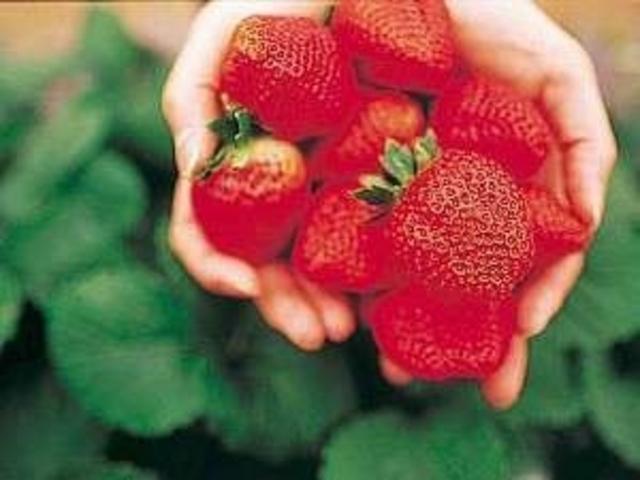 あま~いイチゴをたくさん食べてくださいね♪_貴志川観光いちご狩り協会