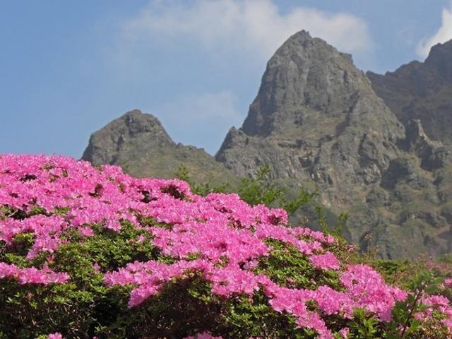 阿蘇山上のミヤマキリシマ