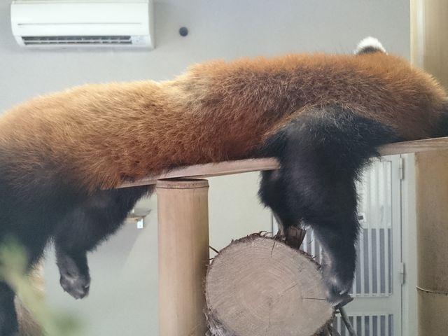 レッサーパンダ_平川動物公園