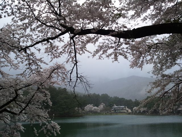 雨で山は良く見えませんでした。_中央アルプス県立千人塚公園の桜