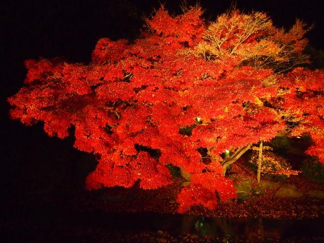 見事なもみじの紅葉。_栗林公園
