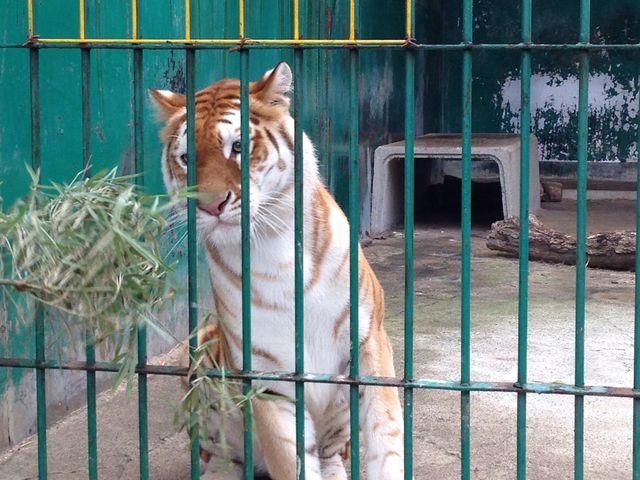 トラもネコじゃらしでめっちゃ釣れます(^^)_東北サファリパーク