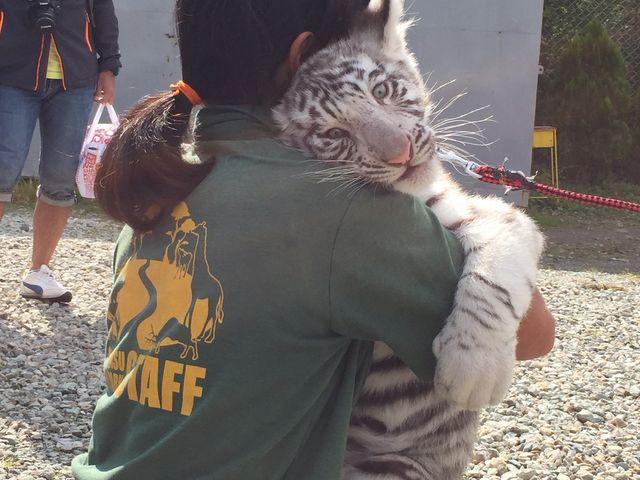 ホワイトタイガーの赤ちゃん。可愛いくて印象的でした。大きくなってるかなぁ?_那須サファリパーク