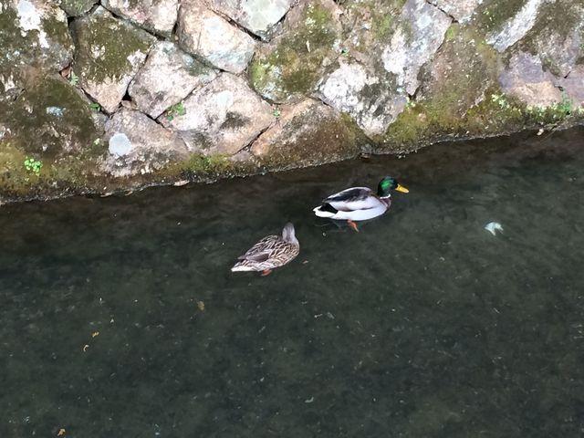 神社近くの哲学の道沿いの疎水には、鴨もおります。_大豊神社