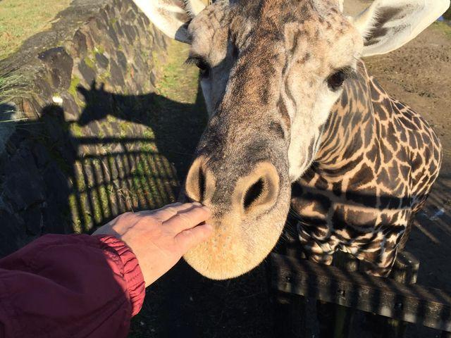 キリンさんが近寄って来てくれました!_平川動物公園