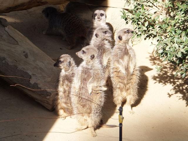 ミーアキャットのひなたぼっこ_浜松市動物園