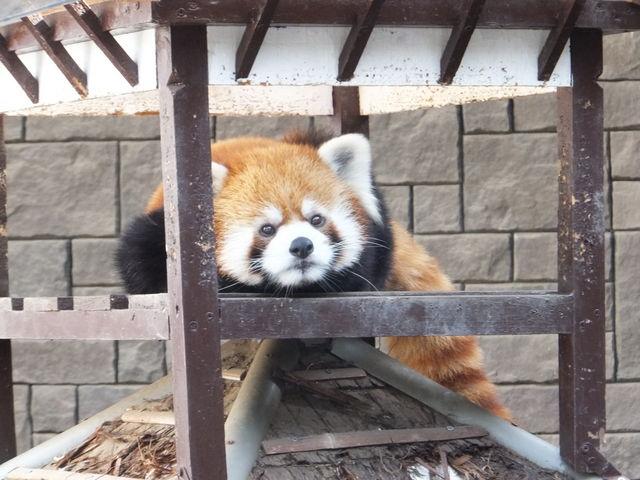 レッサーパンダもかなり近いところから見られます_浜松市動物園