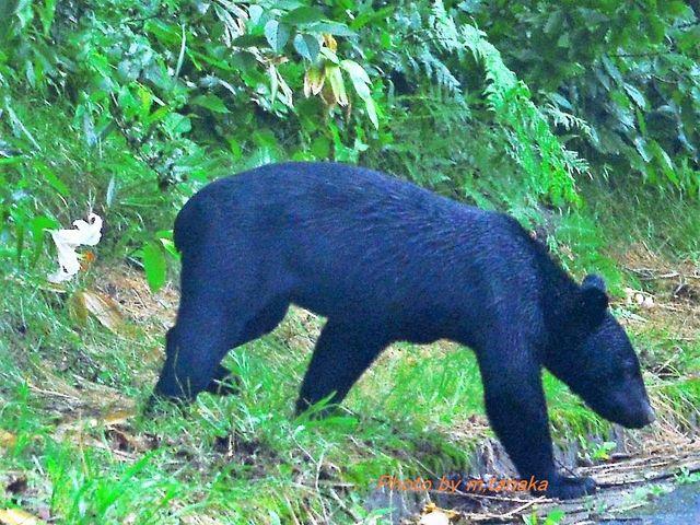 8月9日磐梯山ゴールドライン上に道路を横切る熊と遭遇。 磐梯山ゴールドライン走行には注意を _磐梯山ゴールドライン