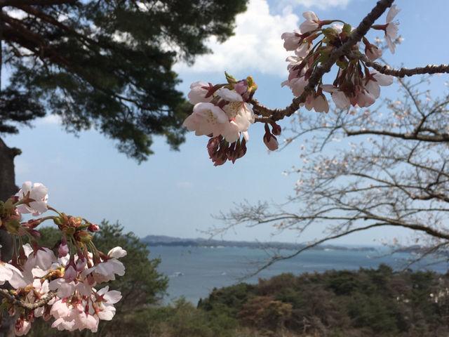 桜with青い空青い海_西行戻しの松公園の桜