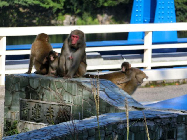 サルの親子が_青蓮寺湖