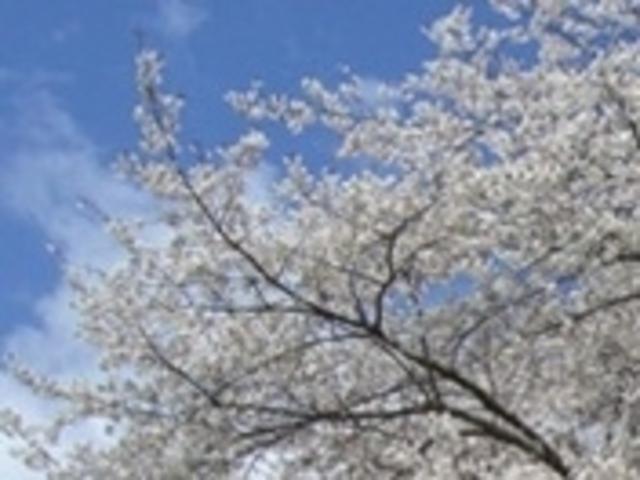 本郷の千年桜_本郷の千年桜