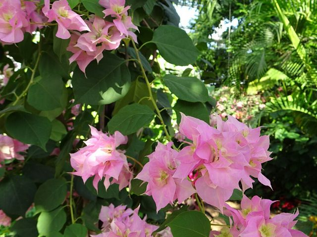 ブーゲンビリア_青島亜熱帯植物園