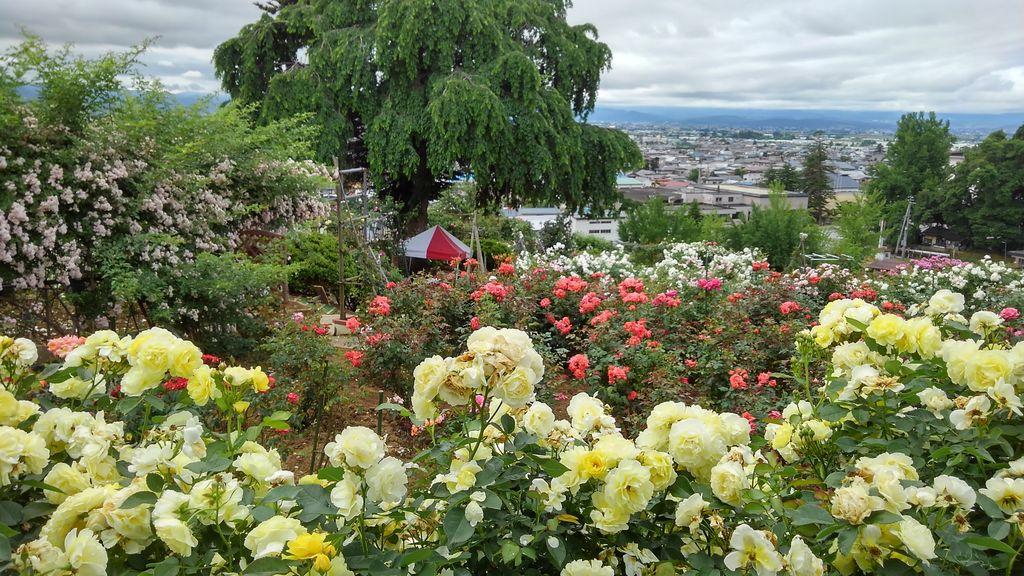 双松公園のバラ