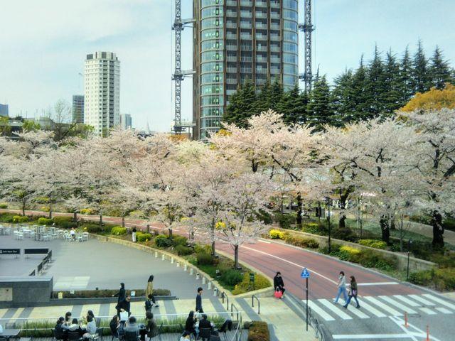 桜咲く 桜並木_六本木