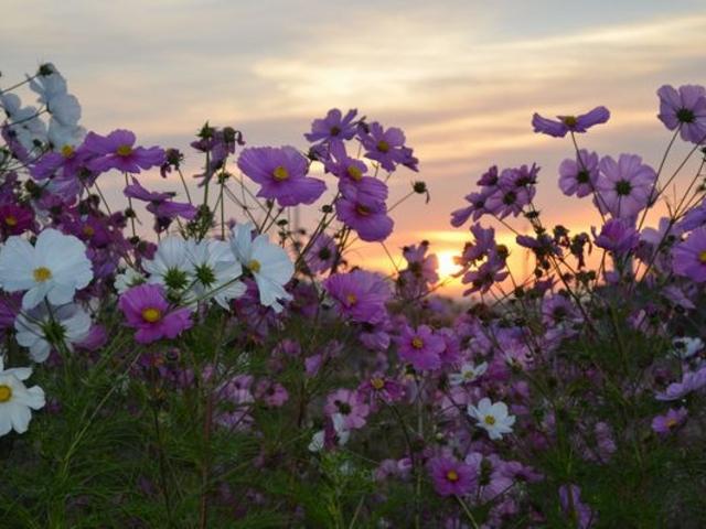 裏手にはコスモスが咲いていました。_道の駅 草津(グリーンプラザからすま)