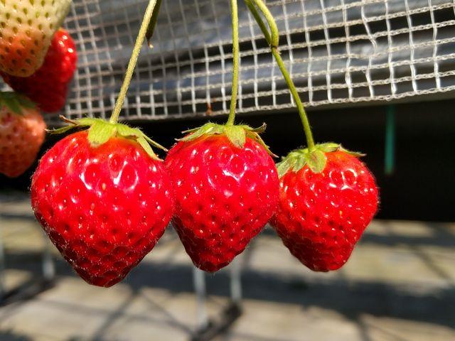 真っ赤に熟れたキレイなイチゴ。いやミツゴ? 甘くて美味しいです。_川原いちご農園