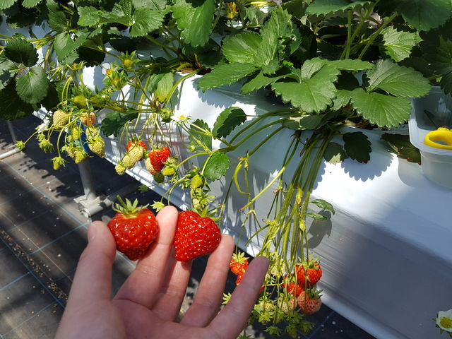 イチゴは大人の腰ぐらいの高さになってます。_湯沢いちご村