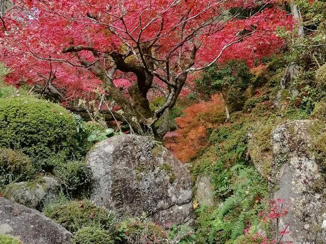 紅葉が燃え立つようでした_金剛輪寺庭園(明寿院)