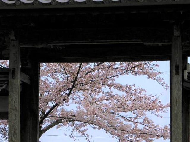 山門前の桜_桃林寺