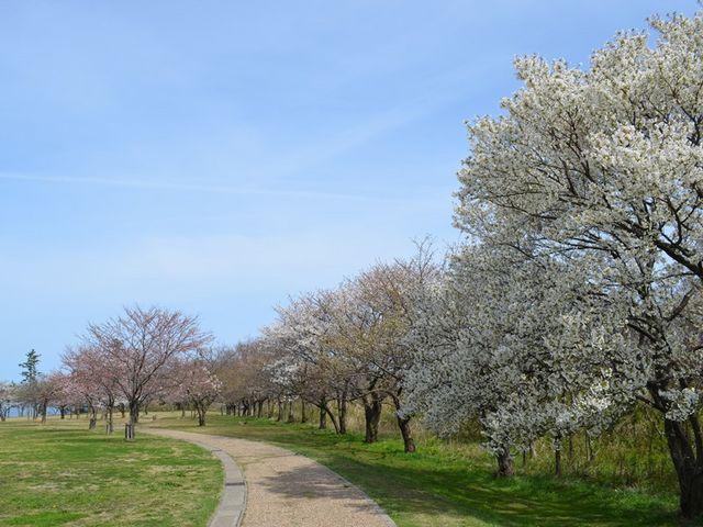 春には園地一帯に桜が咲き誇ります。_休暇村越前三国