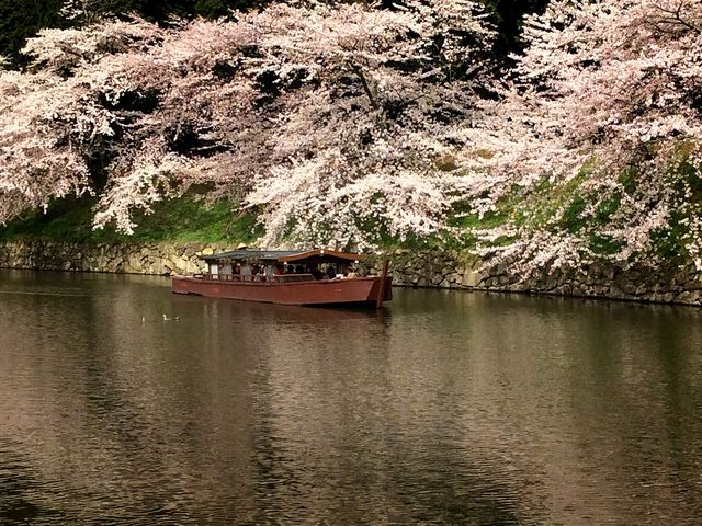 屋形船は、桜満開の内堀をゆっくりすすみます_彦根城屋形船
