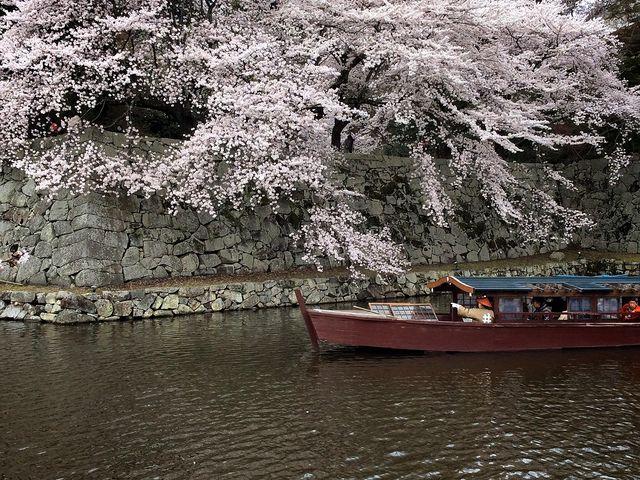 屋形船から見上げる大手門石垣の桜は絶景です_彦根城屋形船