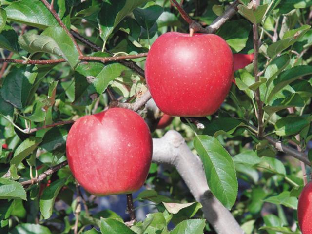 りんご_ふれあいの家