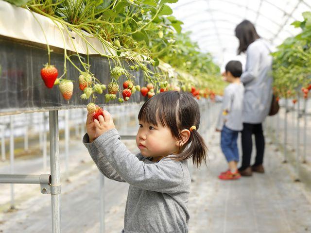 大人も子供も大好きないちごが50分間ゆっくりたっぷり楽しめます♪_おさぜん農園