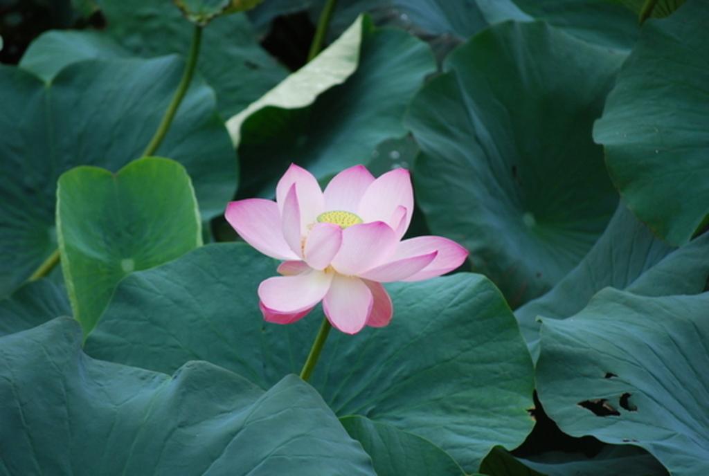 大山下池・上池の蓮の花