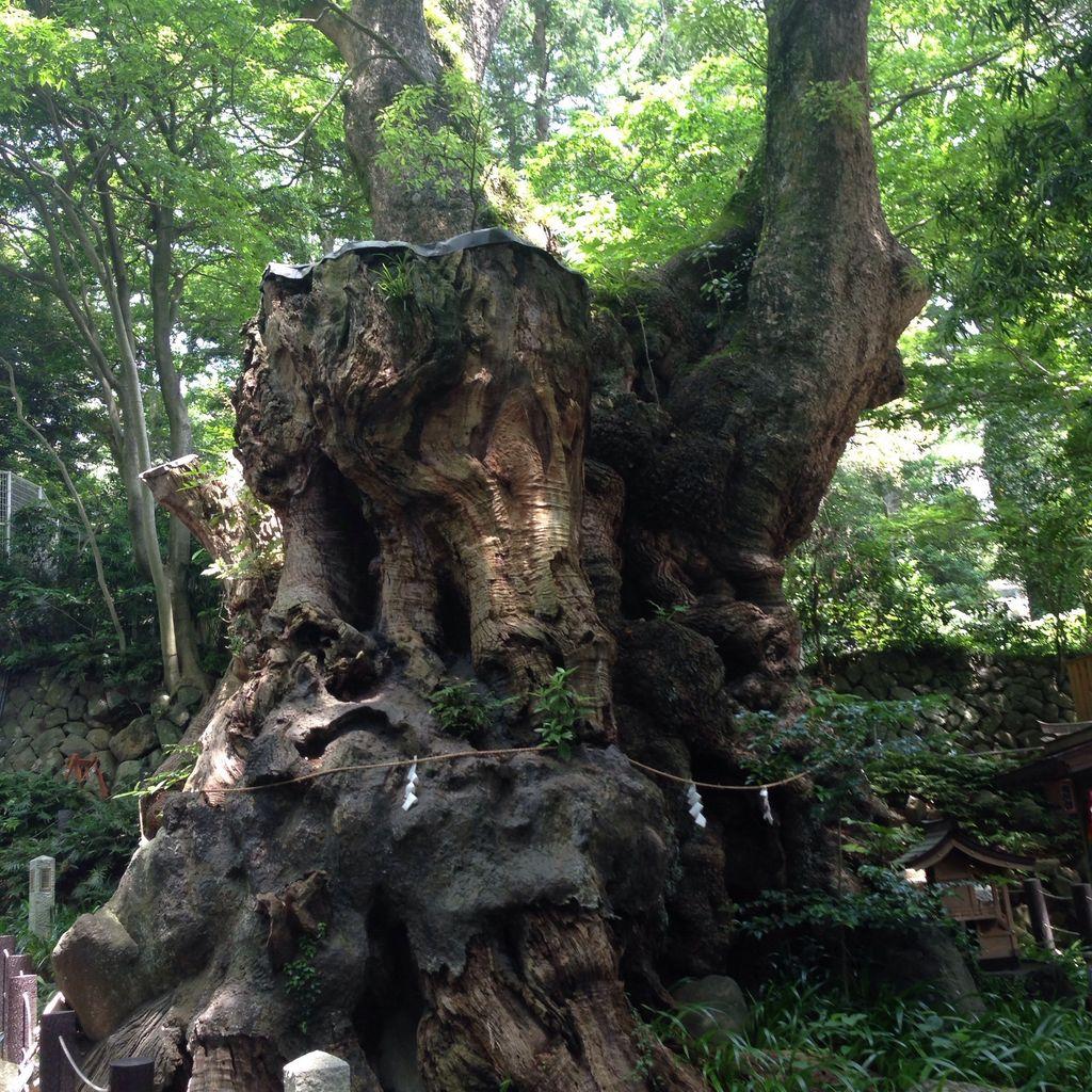 来宮神社の大楠