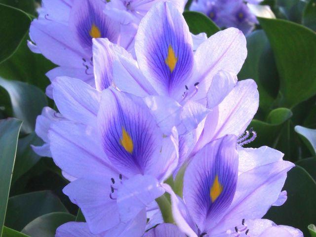 ホテイアオイの咲きっぷりは気まぐれです。 2010/9/11撮影_本薬師寺跡